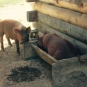 Pigs in the trough