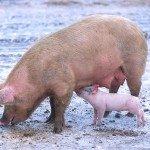 800px-sow_with_piglet-150x150-8325620