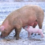800px-sow_with_piglet